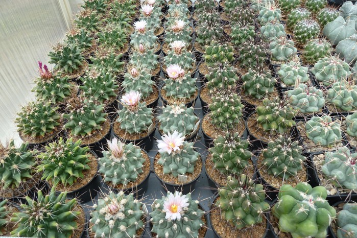 Thelocactusy 001.JPG